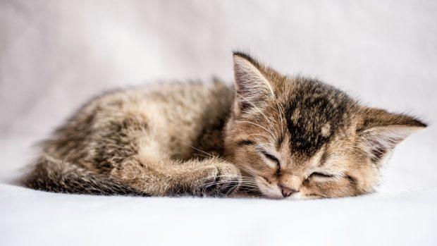 pretty kitten British golden chinchilla ticked sweetly sleeps
